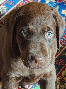 Bear Chocolate Labrador Puppy