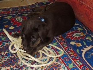 Bear the chocolate Labrador playing with rope